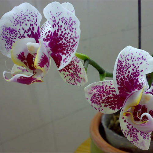 Rare 20Pcs Mix Phalaenopsis Flower Seeds Plant Butterfly Orchid Decoration